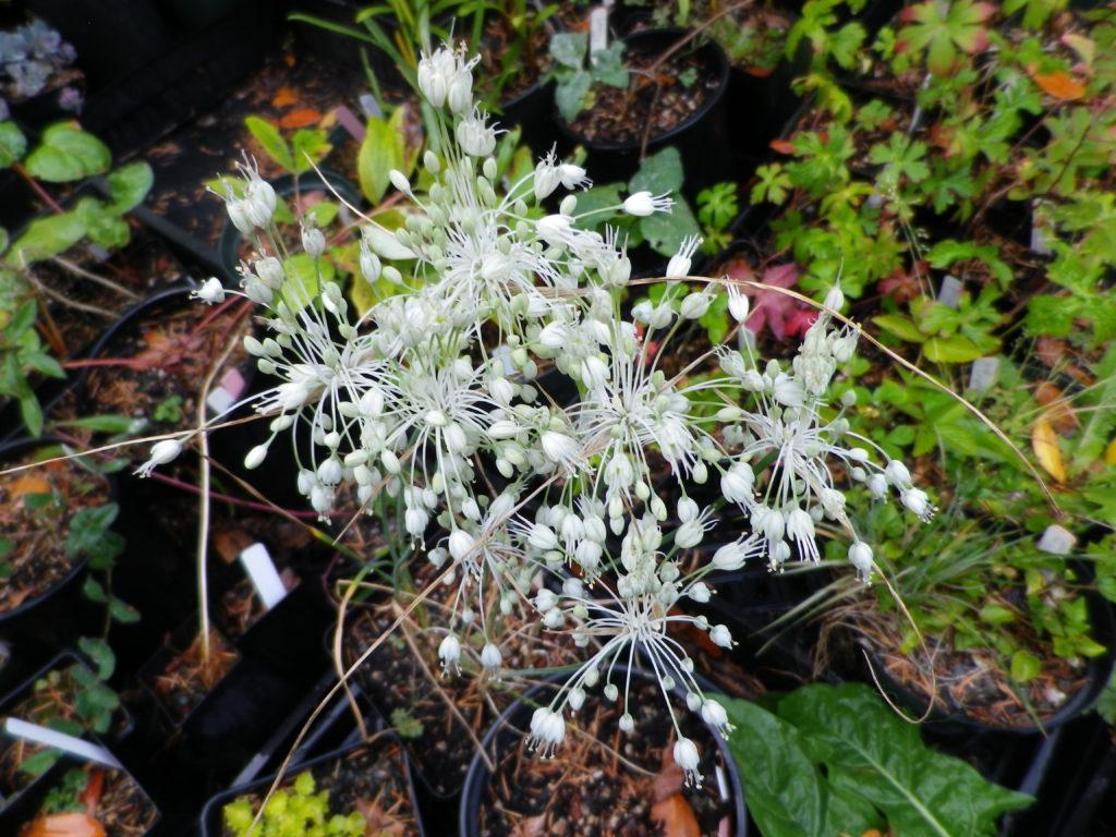 Allium pulchellum album