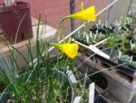 Narcissus bulbocodium ss conspicuous