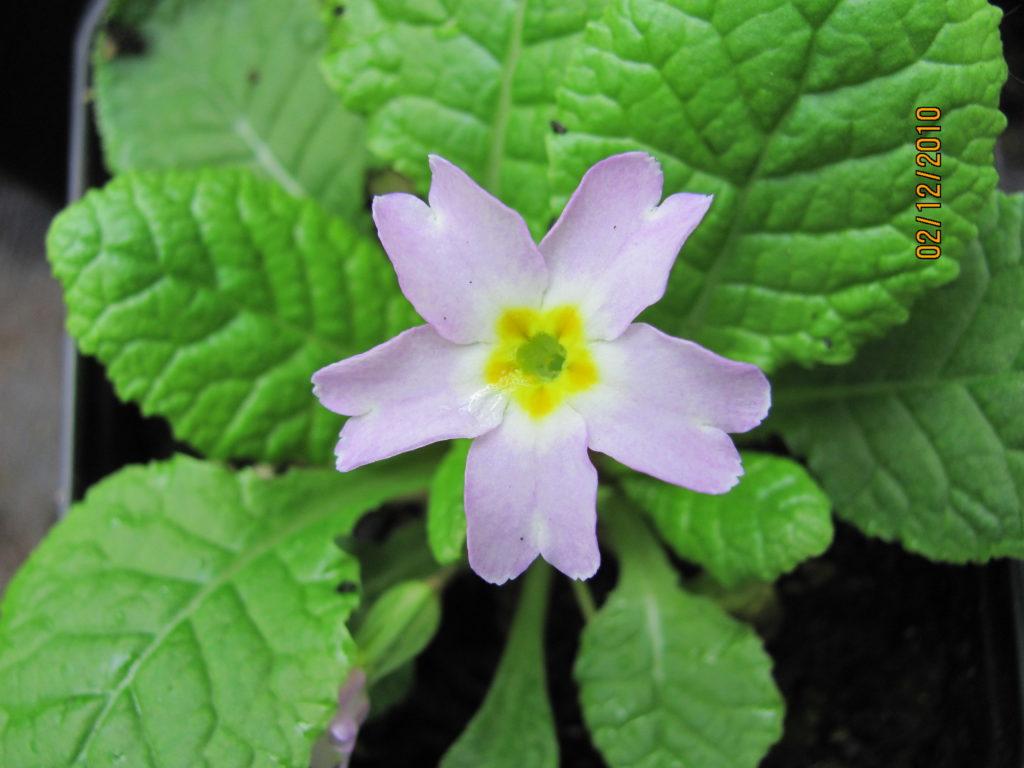 Primula vulgaris sibthorpii